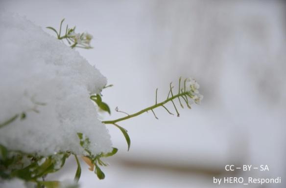 Snöblomman står pall